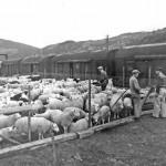 Sauetransport fra Ål (1948)